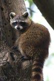 Wasbeer/lotor Procyon Stock Afbeeldingen