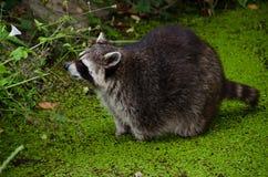 Wasbeer, lotor Procyon Royalty-vrije Stock Foto