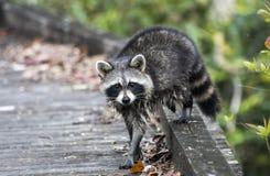 Wasbeer op de Bevende promenade van de Aardesleep in Okefenokee-Moeras royalty-vrije stock foto's