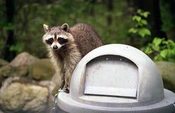 Wasbeer op Trashcan   stock afbeelding