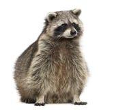 Wasbeer, Procyon Iotor, geïsoleerde zitting, stock fotografie