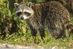 Wasbeer (Procyon-lotor) Stock Fotografie