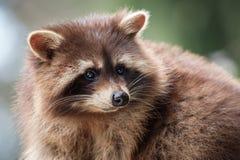 Wasbeer - Procyon-lotor Stock Foto's