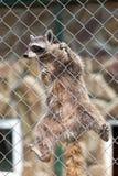 Wasbeer (Procyon-lotor) in dierentuin royalty-vrije stock afbeeldingen