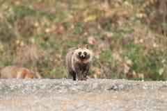 Wasbeerhond Royalty-vrije Stock Foto