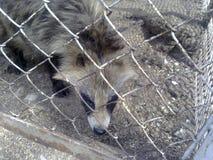 Wasbeerhonden in gevangenschap stock foto