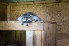Wasbeerslaap in zijn huis in een landbouwbedrijf royalty-vrije stock foto's