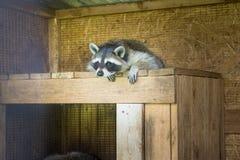 Wasbeerslaap in zijn huis in een landbouwbedrijf stock foto