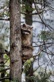 Wasbeerzitting in een boom Royalty-vrije Stock Foto's