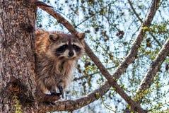 Waschbär auf dem Baum Stockfotografie