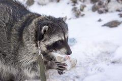 Waschbär auf einem Weg in Tver Stockfotografie