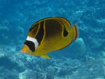 Waschbär Butterflyfish (kikakapu) Lizenzfreies Stockbild