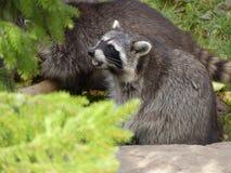 Waschbär, der auf seinen hinteren Tatzen sitzt Stockfotografie