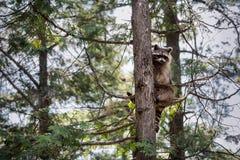 Waschbär, der in einem Baum sitzt Stockfotografie