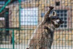 Waschbär, der am Käfig im Zoo hängt Stockbild