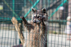 Waschbär, der am Käfig im Zoo hängt Stockbilder
