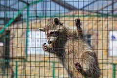 Waschbär, der am Käfig im Zoo hängt Lizenzfreies Stockfoto