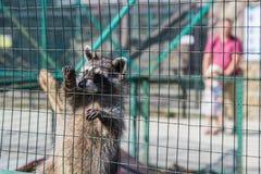 Waschbär, der am Käfig im Zoo hängt Lizenzfreie Stockfotos