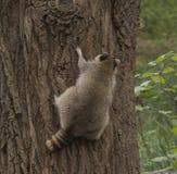 Waschbär, der oben einen großen Baum klettert Stockfotografie