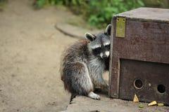 Waschbär, der seinen Nahrungsmittelkasten liebt stockfoto