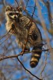 Waschbär in einem Baum Stockfotos