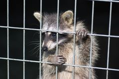Waschbär in einem Käfig Waschbär im Zoo Lizenzfreie Stockfotografie