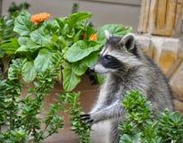 Waschbär im Garten Stockbilder