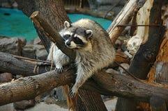 Waschbär im Zoo Stockfotografie