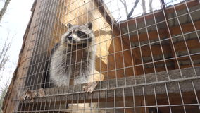 Waschbär im Zoo stock video footage