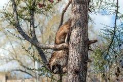Waschbär klettert unten vom Baum Stockbilder