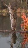 Waschbär (Procyon lotor) beginnt, Baum - mit Reflexion oben zu klettern Lizenzfreies Stockfoto
