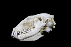 Waschbär-Schädel auf schwarzem Hintergrund Stockfotografie