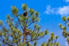 Waschbären in einem Baum stockbilder