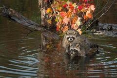 Waschbären Procyon lotor Blick heraus vom Teich stockfotografie