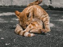 Waschbare rote Katze Stockfotografie