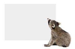 Waschbär, der die Fahne betrachtend sitzt Lizenzfreie Stockfotos