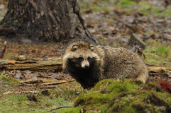 Waschbär-Hund (Nyctereutes procyonoides) Lizenzfreie Stockfotografie