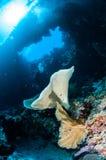 Waschen Sie Ianthella und Seefächer Acabaria in Banda, Indonesien-Unterwasserfoto ab Lizenzfreies Stockbild
