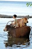 Waschende Kühe des Balinesemädchens Stockbilder