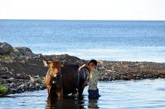 Waschende Kühe des Balinesemädchens Stockfoto