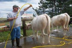 Waschende Kühe an einer Zustand-Messe Lizenzfreies Stockbild