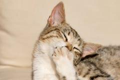 Waschende Tatzen und Pelz der Katze der getigerten Katze im Sonnenschein lizenzfreie stockbilder