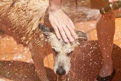 Waschender brauner Hund stockbilder