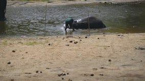 Waschender Elefant des unerkennbaren Mahoutmannes im Fluss Ein großer afrikanischer Elefant badet im See Langsame Bewegung stock video