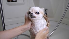 Wash dogs in the shower with flea shampoo. slow motion