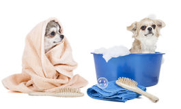 Wash the dogs. On a white background in studio royalty free stock photos