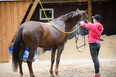 Wash the horse. Jockey washes the horse with water. Rider cleans the horse Stock Images