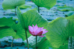Wash lotus. Like the ink painting of the lotus, the silt but don't dye, wash clean and not demon Royalty Free Stock Images