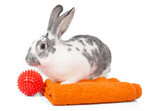 Wash the rabbit Royalty Free Stock Image