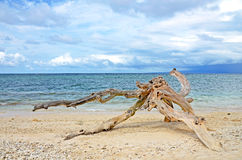 Washed out driftwood on sandy beach. With ocean and cloudy sky in the background Stock Photos